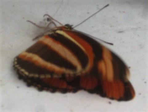 butterfly lying down