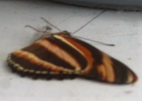butterfly lying down2