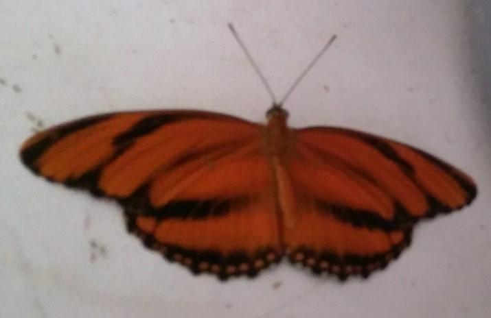 butterfly- wings open3