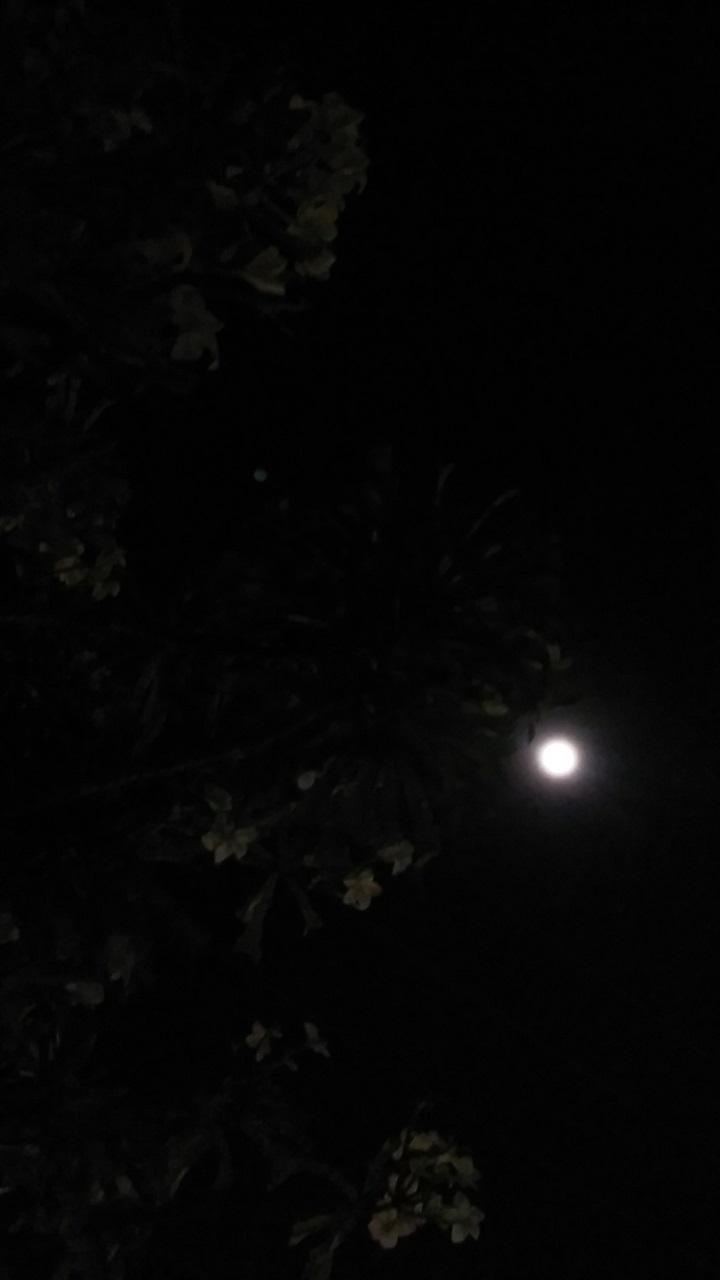 frangipani-moon