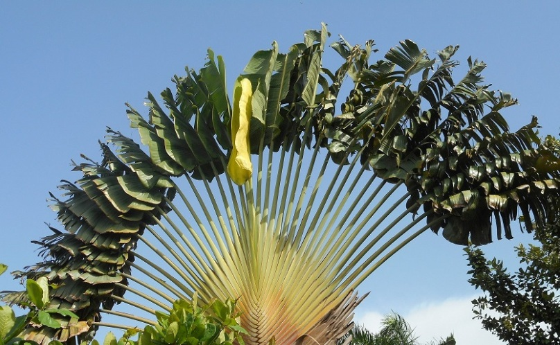 fan-palm