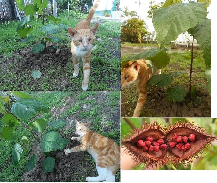 romeo helping plant annatto