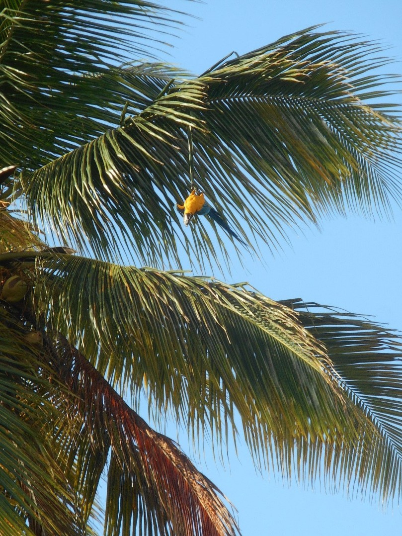 coconut tree macaw- upside down