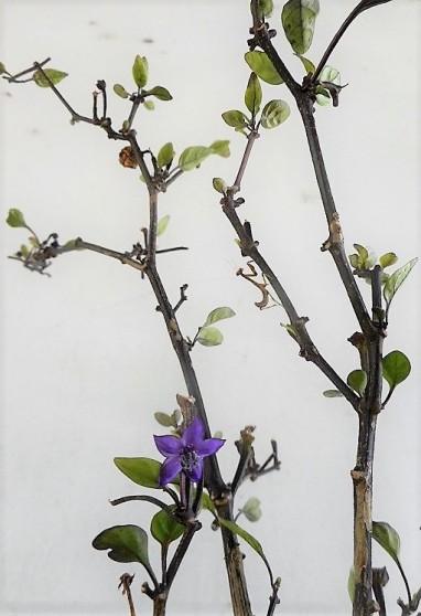 leafless pepper plant2- flowering2