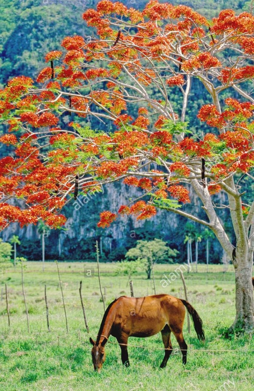 horse under flamboyant tree- cuba