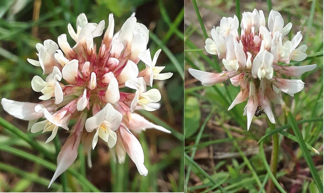 pink weed flower2